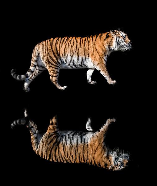 Amur tiger walking along the water