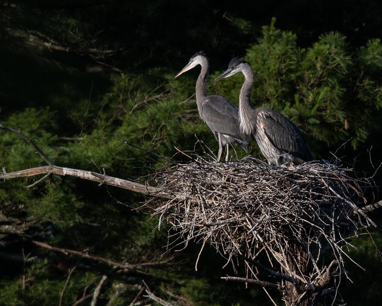 Great Blue Heron juvenile pair in nest