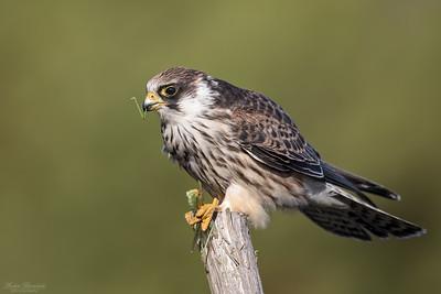 Hawks & Falcons / Hökar & falkar