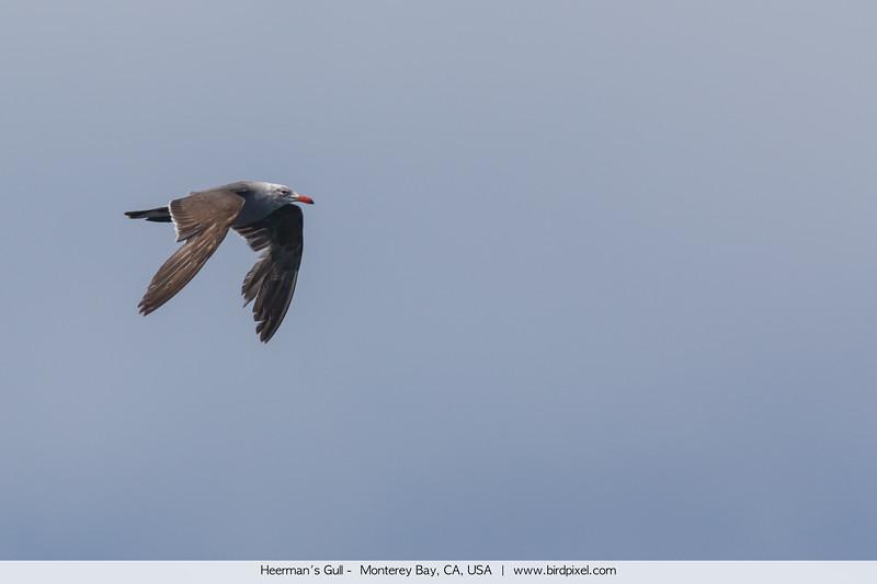 Heerman's Gull -  Monterey Bay, CA, USA