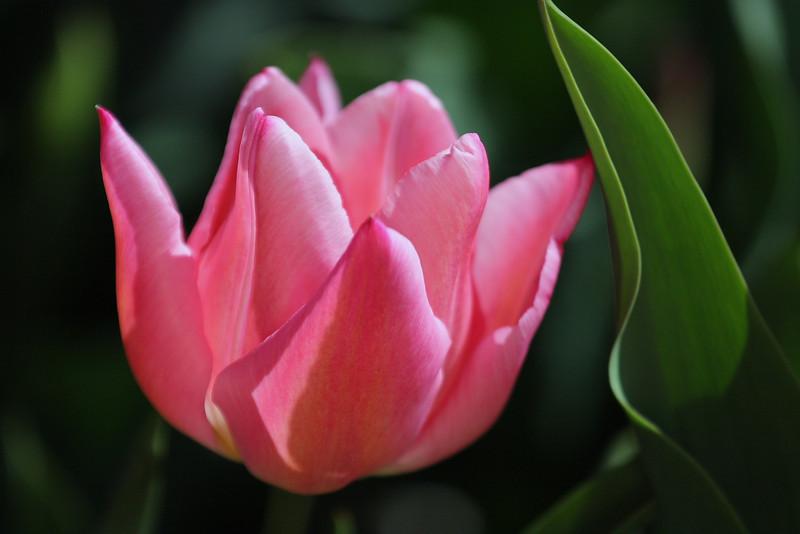 Tulips 08 013.JPG