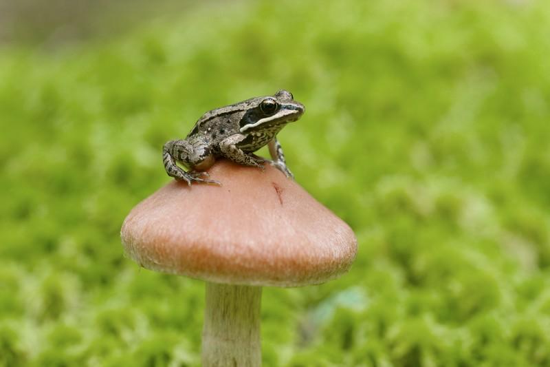 Wood Frog Rana sylvatica Sax-Zim Bog MN IMG_0027294.jpg