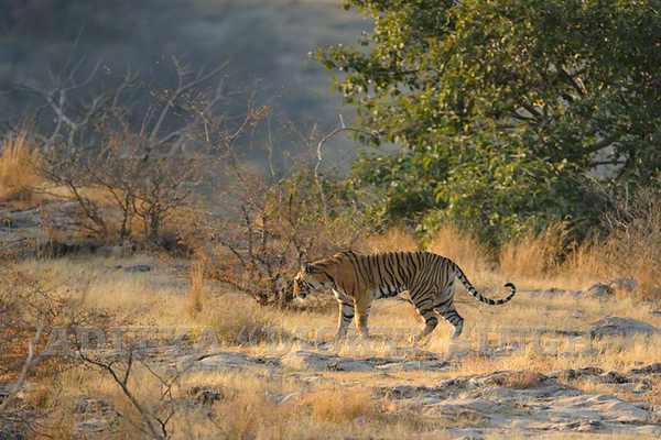 T 17 tiger injured in Ranthambhore