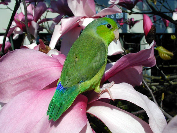 Rowdy (Pacific Parrotlet)
