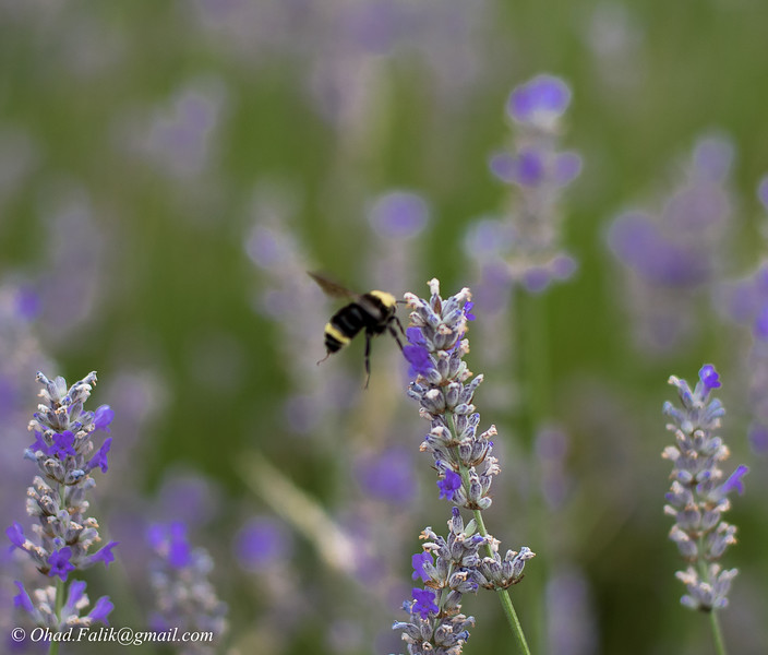 Lavender in Oregon