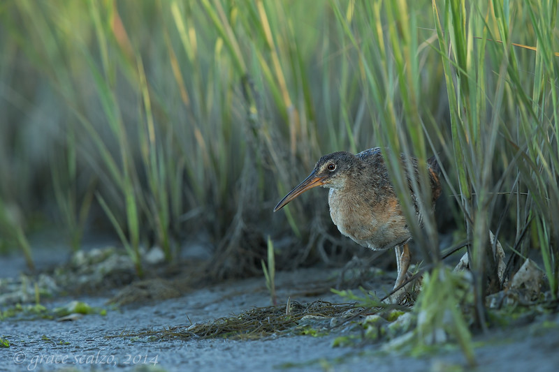 Clapper Rail Adult in Marsh Habitat