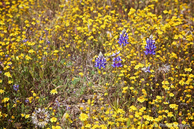 Lupins and Goldfields