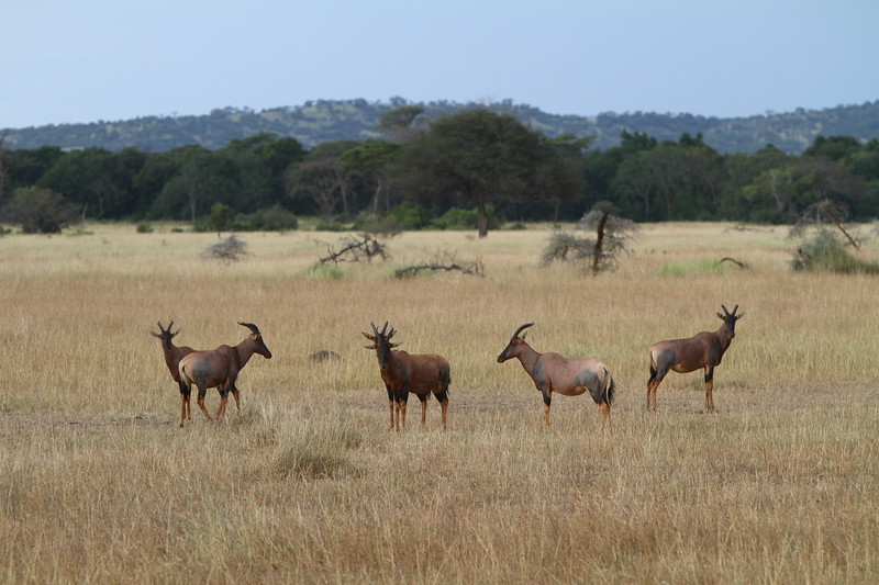 Topi on the Serengeti.JPG