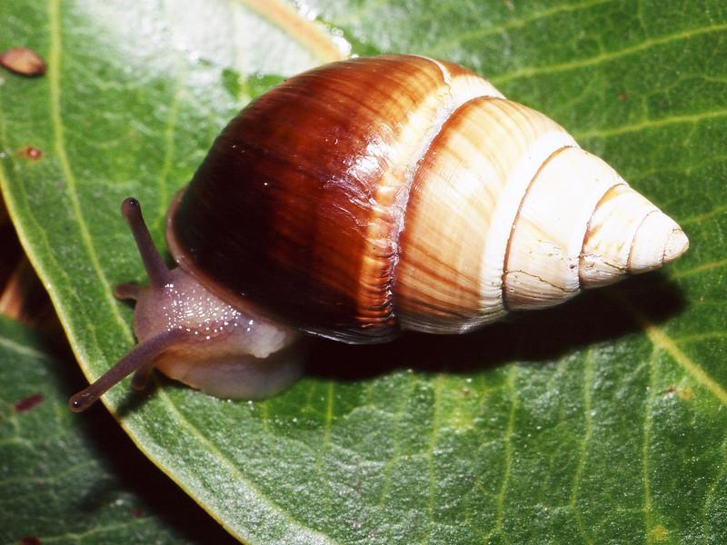 Partulina redfieldii (Achatinellidae), Molokai