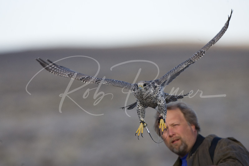 Gyrfalcon and Falconer II