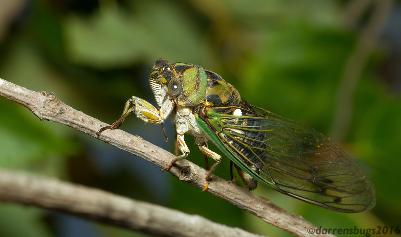 An annual cicada (Neotibicen sp.) deposits her eggs under the bark of a young tree in Iowa. Upon hatching, the nymphs burrow underground, where they will feed on root sap until the following year when they re-emerge and molt into their winged adult form.