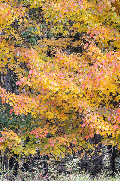 Acadia Maples, Fall Foliage.jpg
