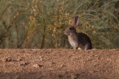 Rabbit / Conejo