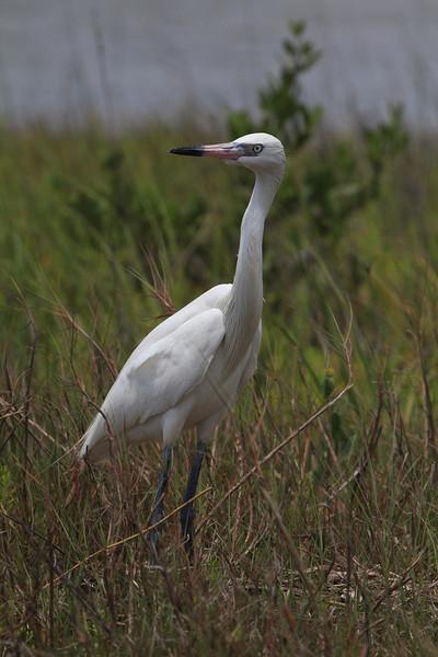 zzSan Luis Pass 5-30-13, T3i 066 white morph Reddish Egret.jpg