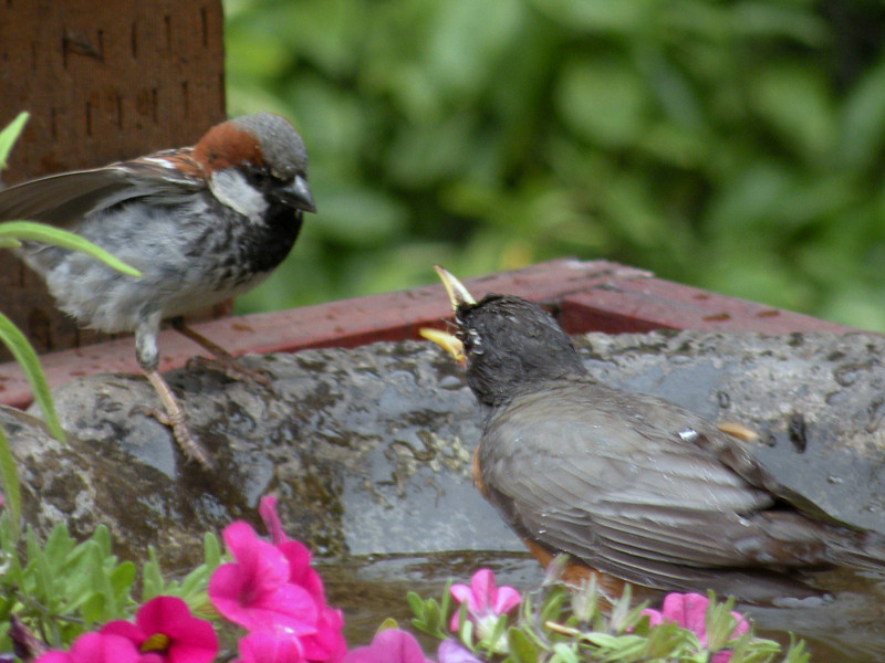Sparrow, House, and Robin, American