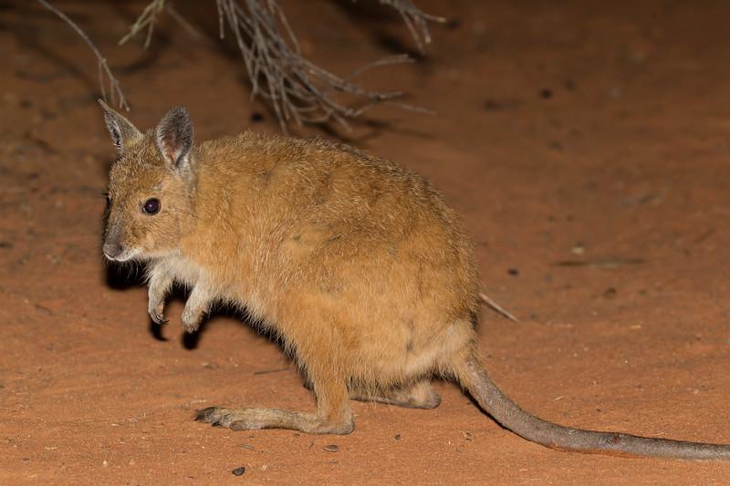 Mala (Rufous Hare-wallaby)