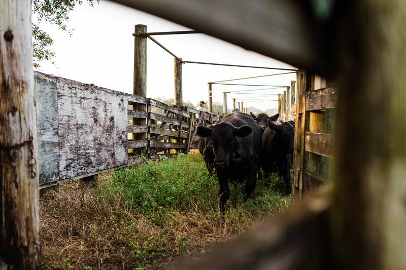 Barthle Cattle-2 (29 of 102).jpg