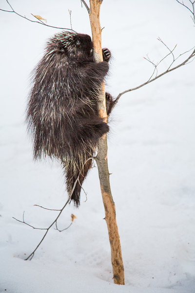 North American porcupine (Erethizon dorsatum),  climbing an American beech tree to feed on the bark. Vermont, USA. (Habituated rescued individual returned to the wild)