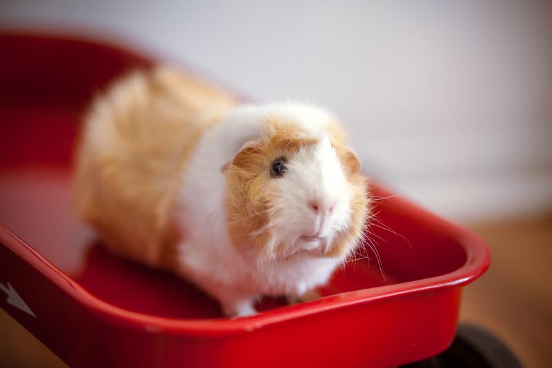 Ginea Pigs-15.jpg