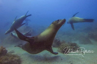Sea Lions of the Sea of Cortez - August, 2019
