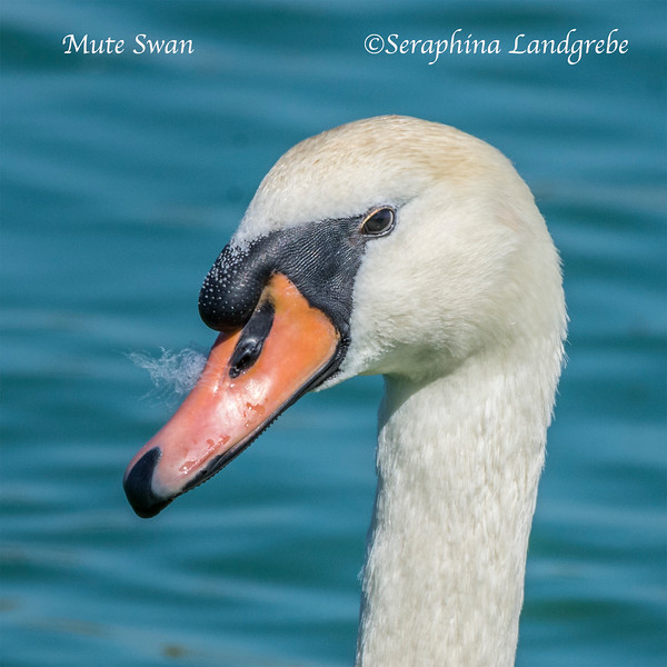 _DSC8248Closeup Mute Swan.jpg
