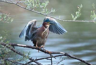 Green Heron (<em>Butorides Virescens</em>)