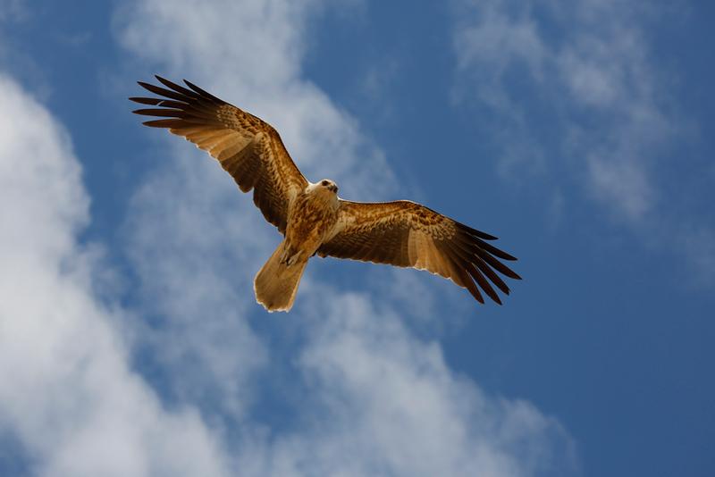 Whistling Kite.jpg