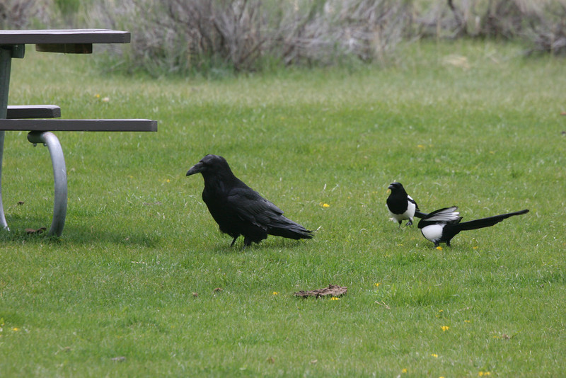 raven and black-billed magpies