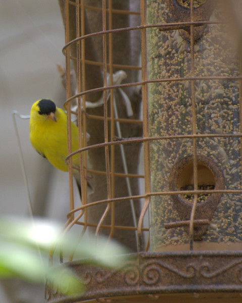 Goldfinch on feeder.jpg