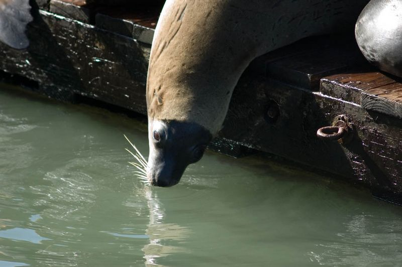 The Sea Lions at Pier 39 were captivating