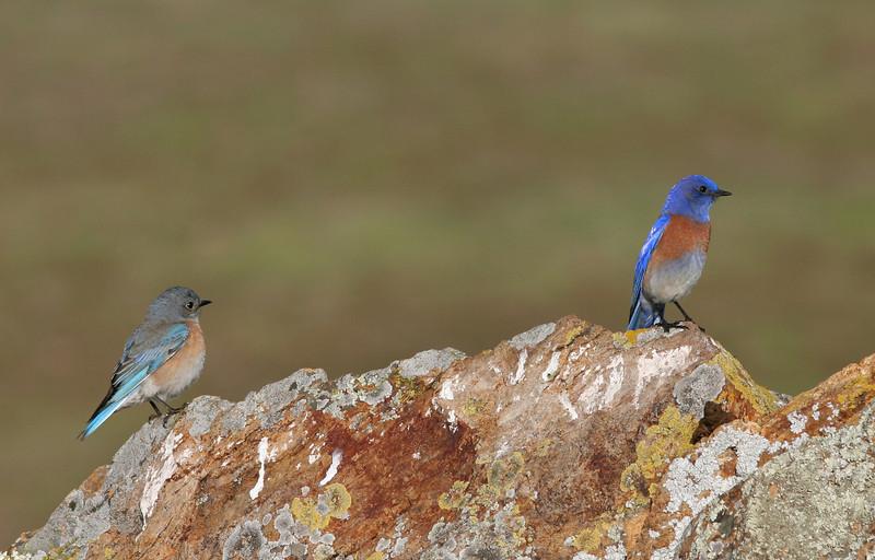 Bluebirds on Fairmont Ridge.