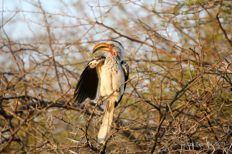 Southern Yellow-billed Hornbill, Mala Mala Game Reserve, South Africa