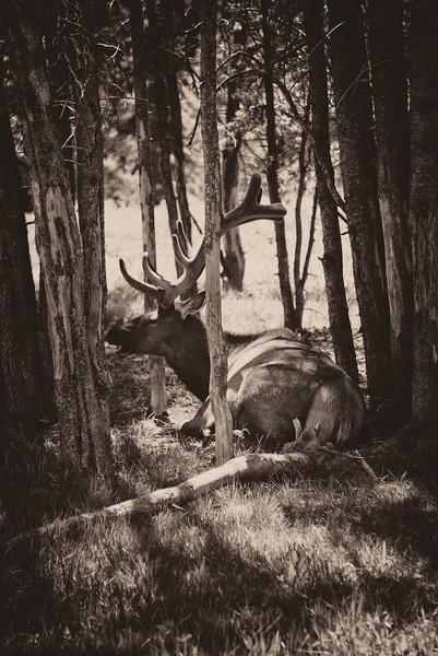 Sitting Elk.jpg