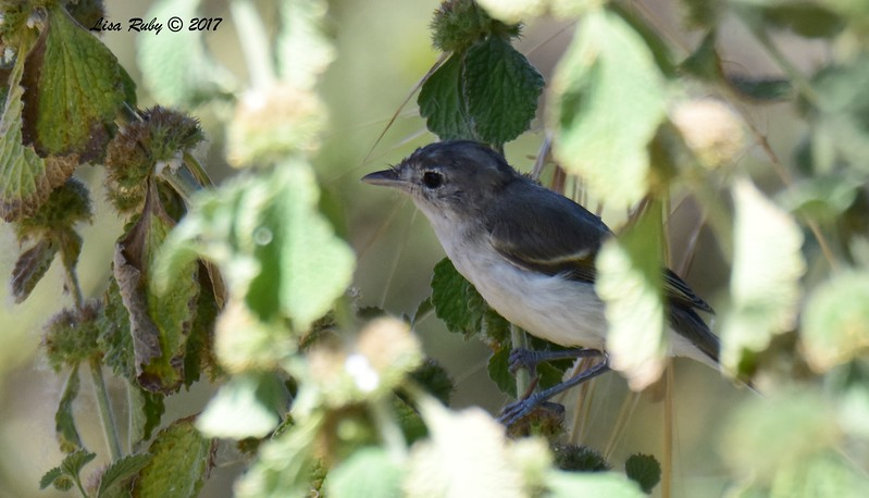 Least Bell's Vireo, ont sure if this is a juvie, or adult with messy face feathers - 6/14/2017 - Lake Hodges Bernardo Bay Trail