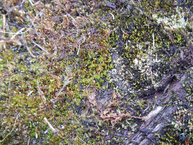 Horizontal Log Moss, Kadake Creek, April 2013 - by Steve Hohf