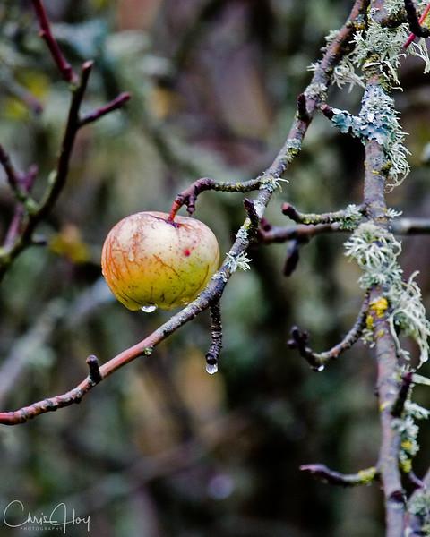 Abandoned Apple Tree.jpg