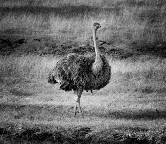 Mark-Fletcher-BW Ostrich at Ngorongoro.jpg