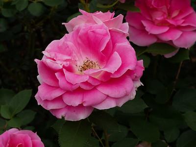 Rose Garden_June 6, 2013