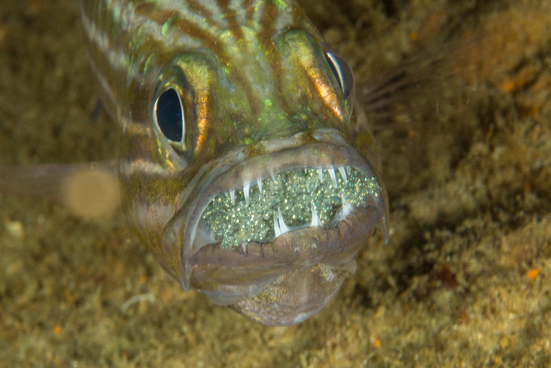 Cardinal Fish holding the eggs