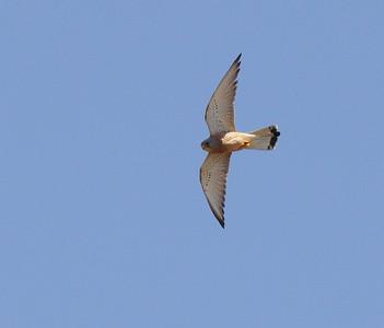 Pikkutuulihaukka (Falco naumanni)