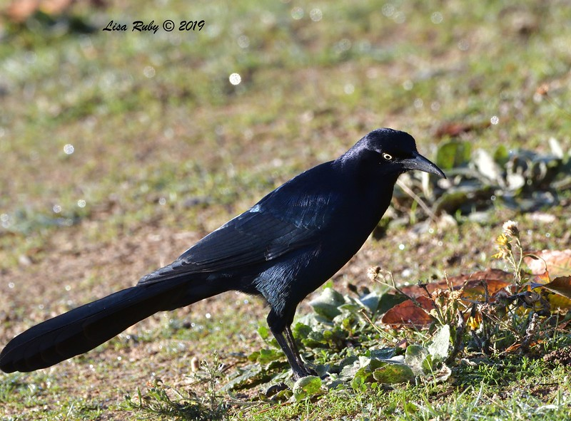 Great-tailed Grackle  - 12/28/2019 - Lake Wohlford area