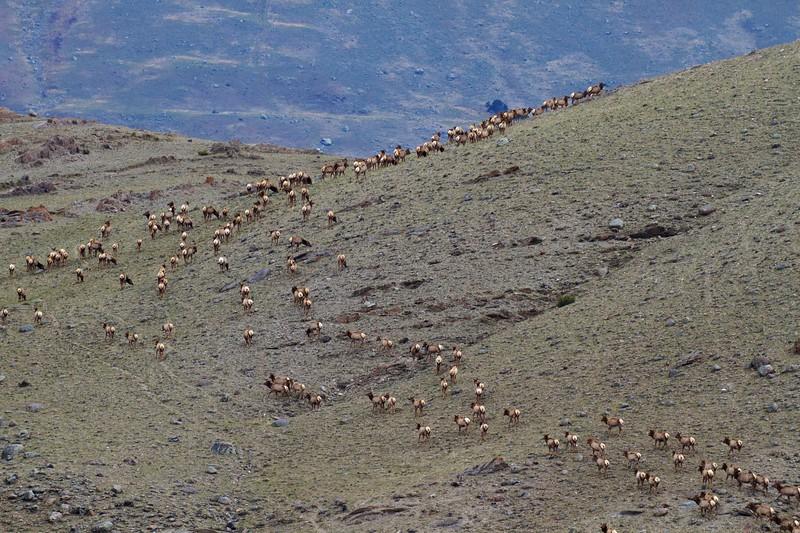 Elk herd Yellowstone National Park WY IMG_5111.jpg