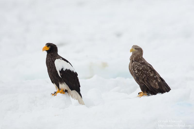 Steller's Sea-Eagle & White-tailed Eagle - Hokkaido, Japan