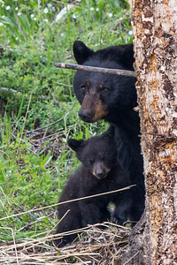 Black Bear Sow and Cub (Family I) (June 7, 2015)