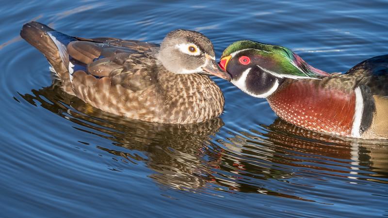 Wood ducks necking