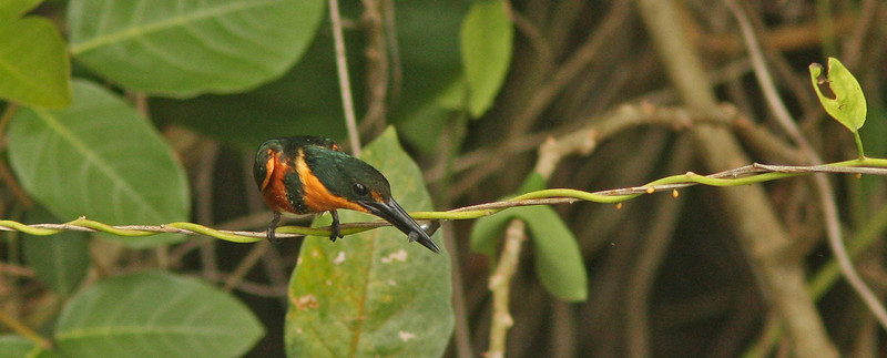 Pygmy Kingfisher with fish, Chagres River