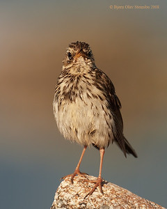 Motacillidae (Wagtails & Pipits / Erlefamilien)