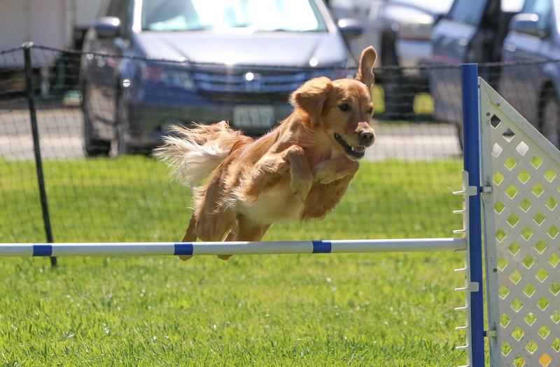 3-31-2018 Shetlant Sheepdog-4526.jpg