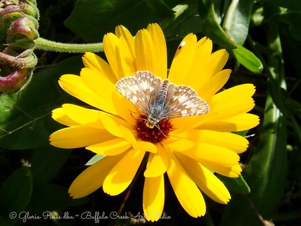 moth on a Calundula