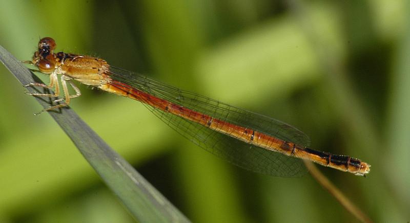 Amphiagrion saucium (Eastern Red Damsel), GA